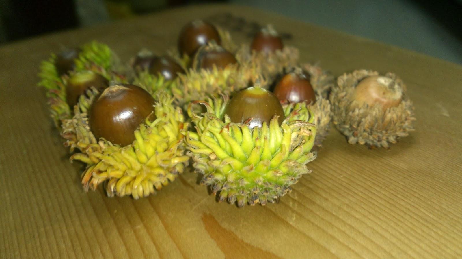 花草影像: 栓皮櫟種子盆栽